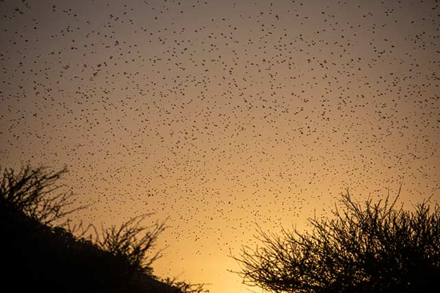UN releases USD10 million in rapid support for Desert Locust campaign in East Africa