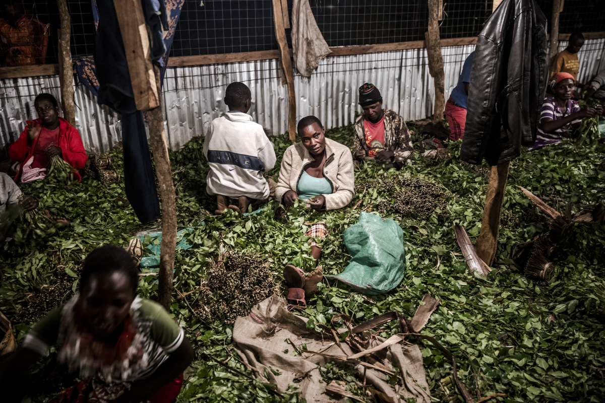 Workers bundle miraa for distribution in a storehouse near Maua. MUST CREDIT: Photo for The Washington Post by Luis Tato