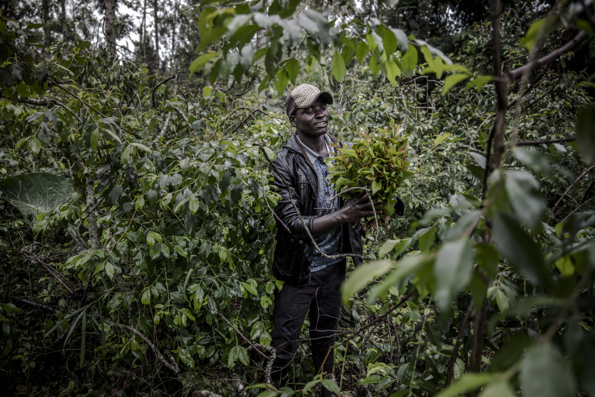 A picker works under the rain picking miraa from a farm located near Maua, Kenya in November 2019. MUST CREDIT: Photo for The Washington Post by Luis Tato