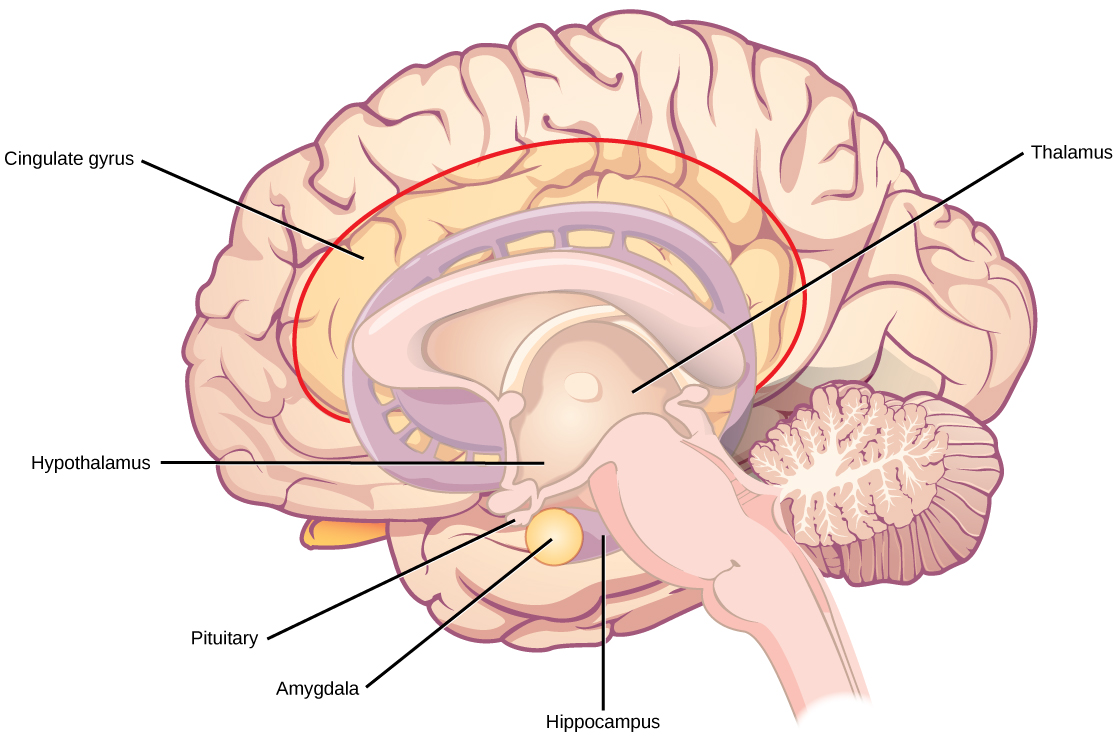 Schematic of the brain's limbic system. Seeing what's there tells you almost nothing about the crazy things it can do. (Credit: Rice University/OpenStax)