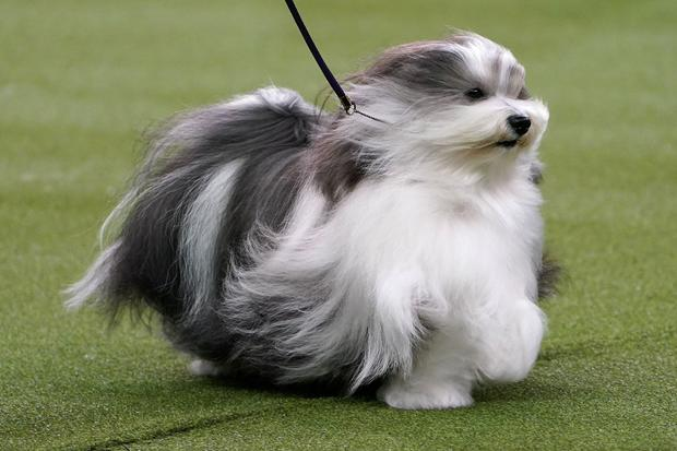 The winner of the Toy Group a Havanese named Bono is judged at the 2020 Westminster Kennel Club Dog Show at Madison Square Garden in New York City