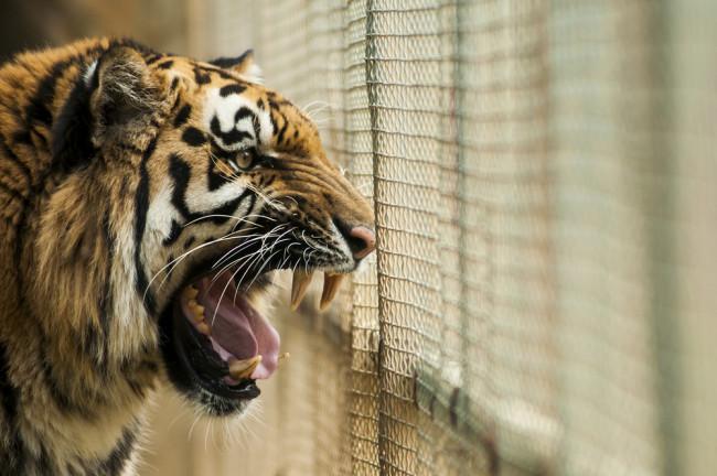 caged tiger shutterstock