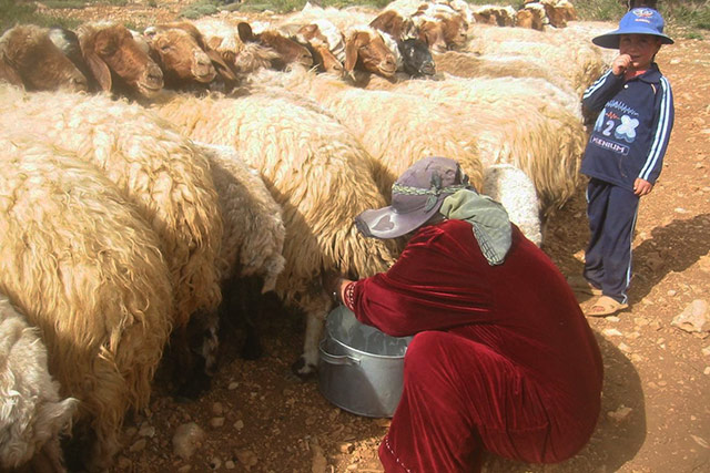FAO launches vaccination campaigns against transboundary animal diseases in Lebanon