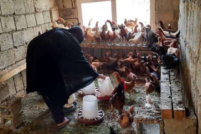 From vulnerability to resilience in Afghanistan: Hawa Gul's story of diversified livelihood and increased income due to FAO's poultry intervention during COVID-19