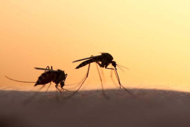 Mosquitoes - Shutterstock