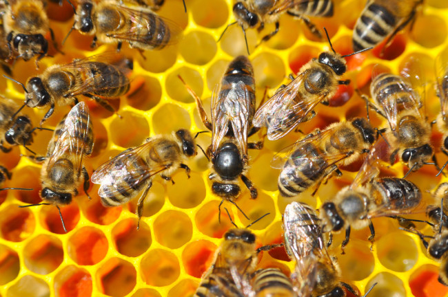 honey bees honeycomb - shutterstock