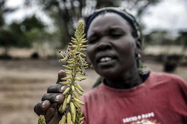 A farmer examines desert locusts at an infested farm in Nakukulas, Turkana County, Kenya. ©FAO/Luis Tato