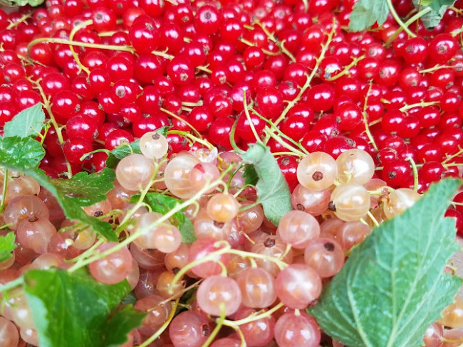 Wild red currant berries