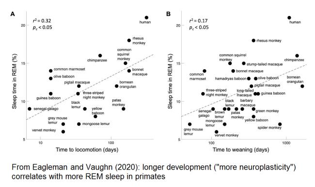 Primate development and REM sleep