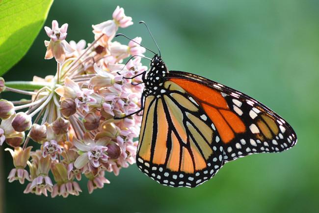 Monarch on Milkweed - Field Museum