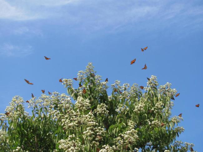 monarch migration pollinator gardens