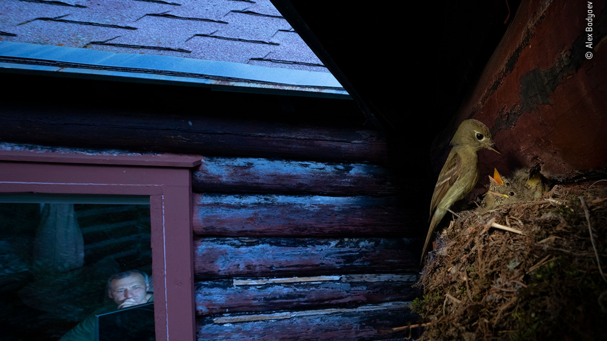 Cordilleran flycatcher pauses at its nest over the window of remote research cabin. This uncommon species is declining across much of North America, and here obviously prefers a cabin full of ornithologists studying the reasons for this recline... MUST CREDIT © Alex Badyaev/ Wildlife Photographer Of The Year 2020