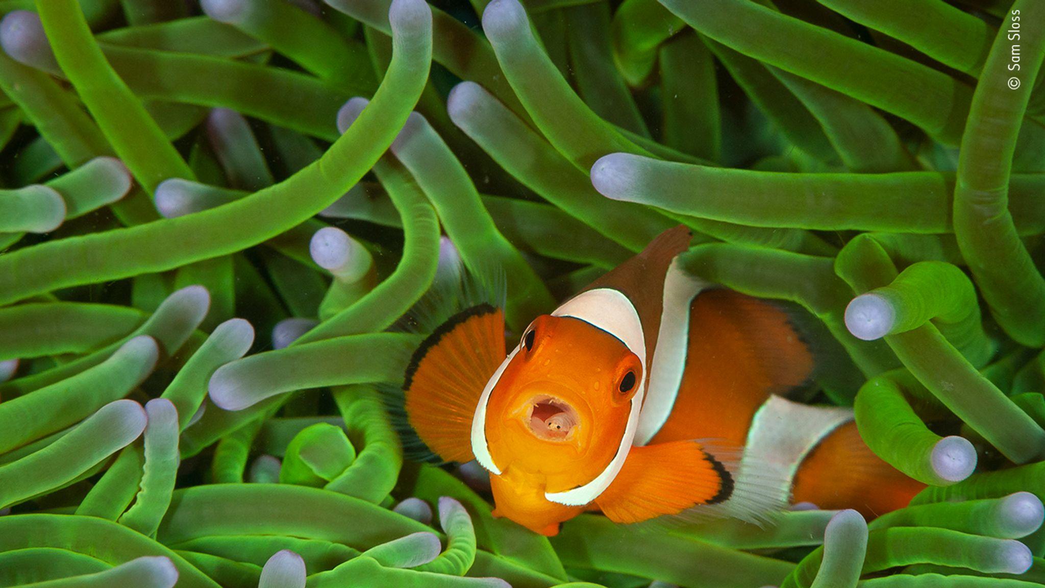 Clownfish with tongue isopod parasite (Amphiprion ocellaris with Cymothoa exigua) - Lembeh Strait, Sulawesi, Indonesia - © Sam Sloss, Wildlife Photographer of the Year 2020