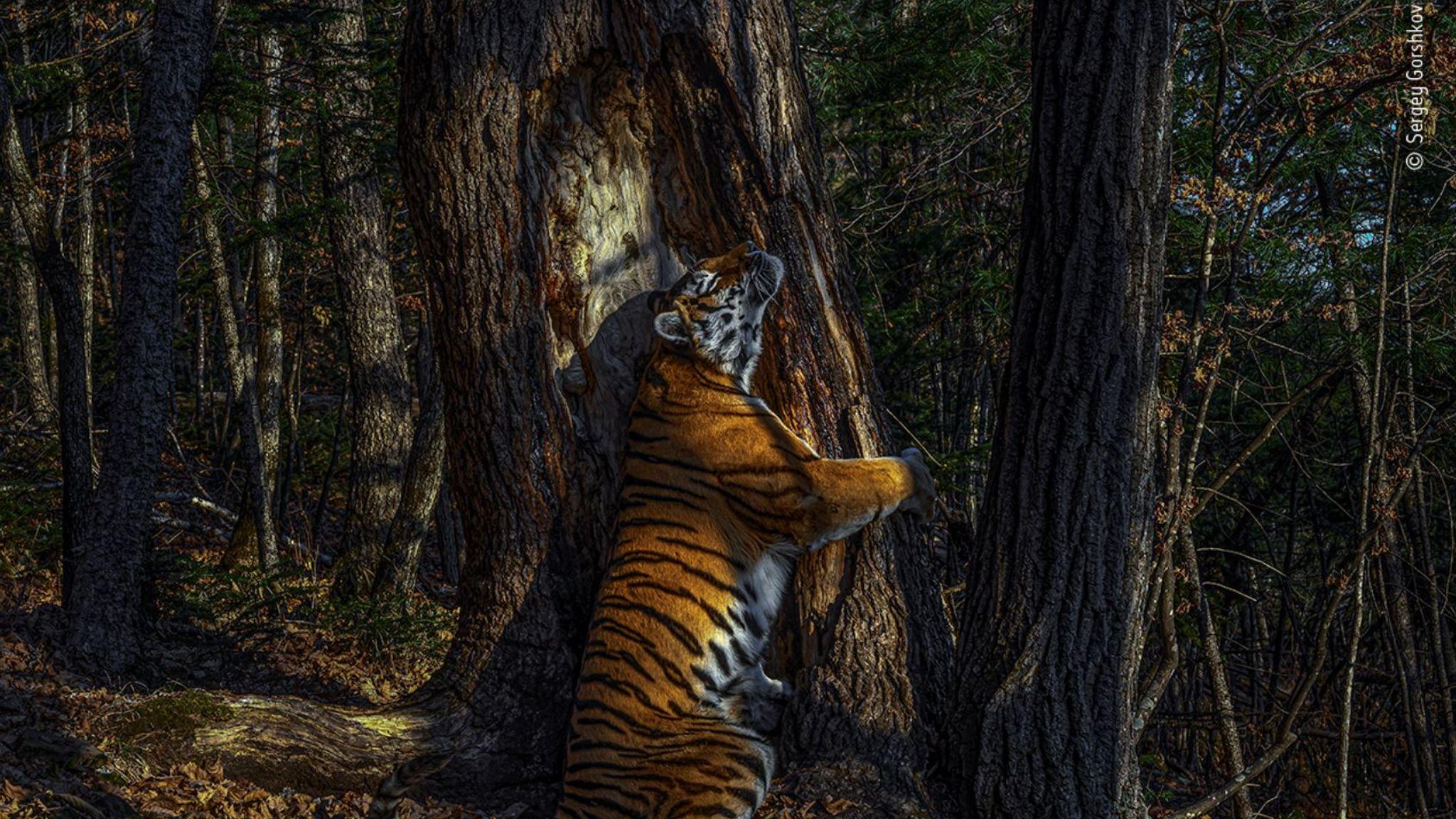 The Embrace, winner of the Wildlife Photographer Of The Year 2020 prize. Pic: Sergey Gorshkov/ Wildlife Photographer Of The Year 2020