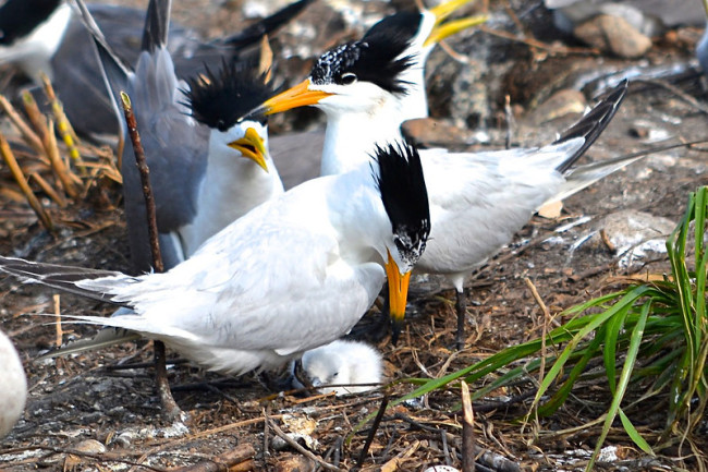Chinese Crested Tern - Oregon State University via Flickr