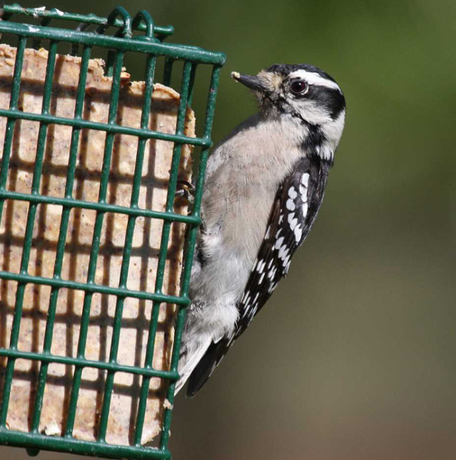 Downy woodpecker