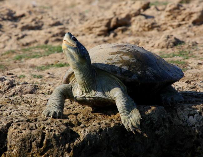 Red-Crowned Roofed Turtle - K S Gopi Sundar