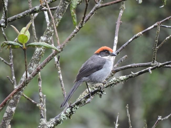 Antioquia Brushfinch - edwinmunera