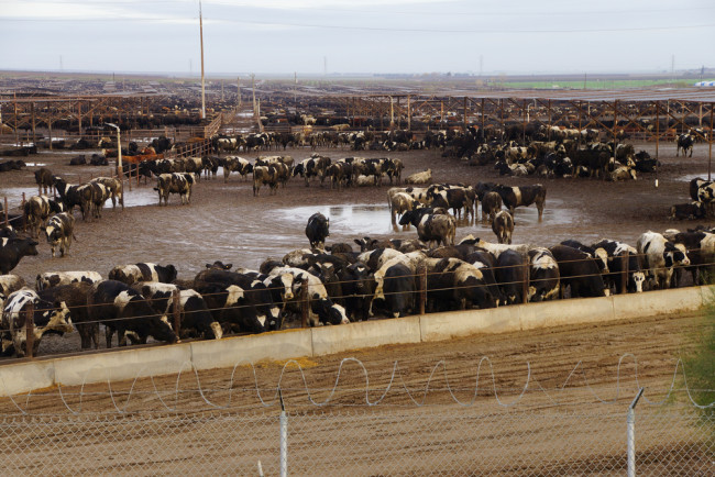 Cattle feedlot in Central Valley, California