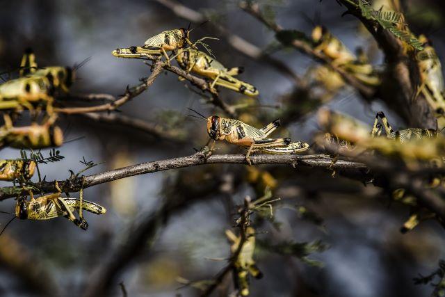 A high-tech response is helping countries win battle against desert locusts. ©FAO/Luis Tato