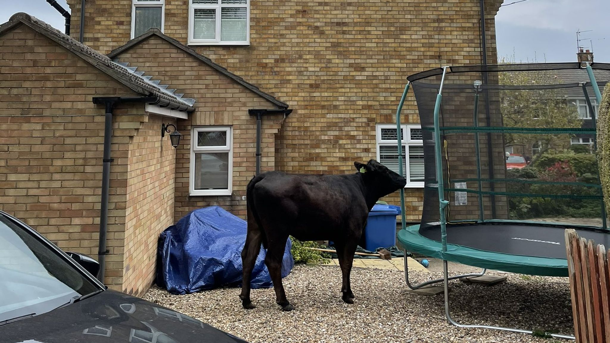 Quite fancy that: One bullock looked tempted to have a go on a trampoline