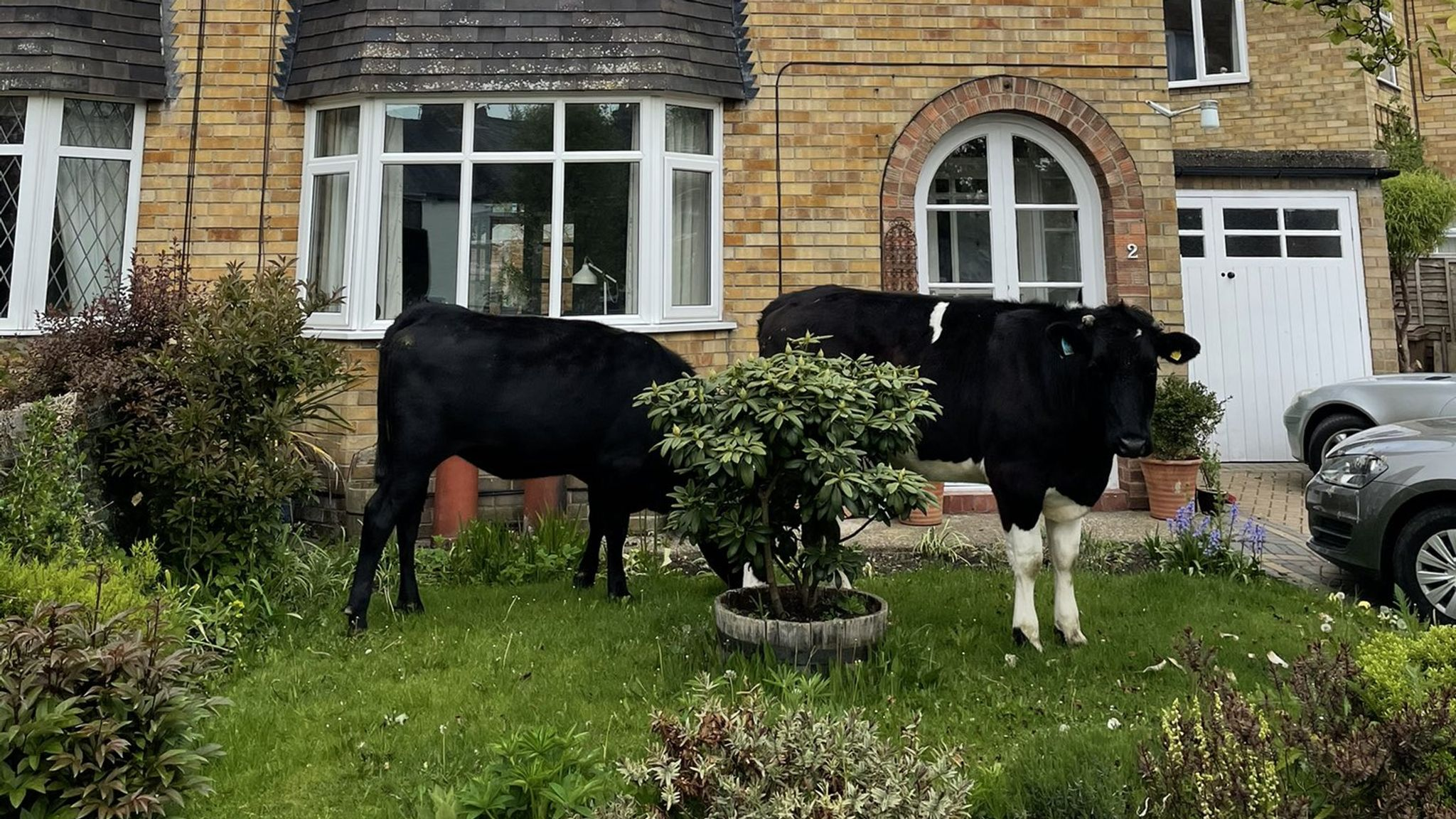 Yum: The cows were spotted helping themselves to grass in people's gardens