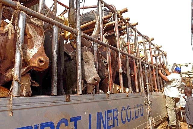 FAO commits regional efforts to control cross-border livestock diseases in South Sudan and Uganda