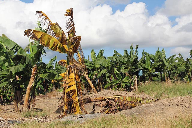 FAO and partners call for a global response to deadly banana disease