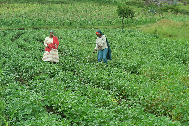 Seed security helps enhance agricultural production and food security among Basotho farmers